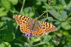 Issoria Lathonia (G.Sartori.510) Tags: pentaxk1 smcpentaxda60250mmf4edifsdm farfalla butterfly lepidoptera nymphalidae issorialathonia