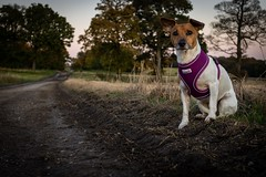 Honey and her new harness. (Darren Speak) Tags: countrylane harness dog