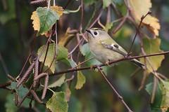 Roitelet huppé mâle (Mariie76) Tags: animaux nature oiseaux passereaux petit mignon roitelet huppé arbre bouleau regulus