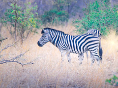 Zebra in the tall bush in South Africa (` Toshio ') Tags: toshio southafrica africa zebra animal krugernationalpark kruger wild wildlife nature zebras safari canon7d 7d