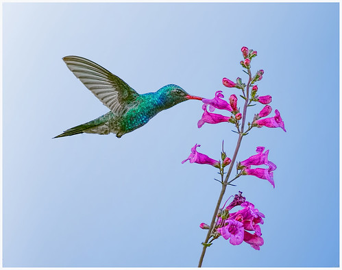 Broad-billed Hummingbird by Marcia Nye - Honorable Mention Class A Prints - Sept 2019