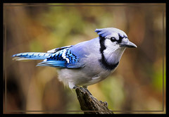 _A993466 (mbisgrove) Tags: bluejay bisgrove bird a99ii blue a99m2 ontario northern sal70400g2 sony jay color fall colour