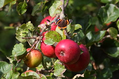 The Last Red Admiral? (Robin M Morrison) Tags: red admiral apple tree