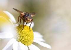 Macro Entry - Moore Camera Club  Comp Night - 5th! (MWBee) Tags: macro nikon d750 flower fly sigma sigma105m moorecameraclub mwbee insect cheshire runcorn
