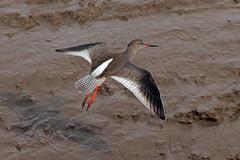 redshank (DODO 1959) Tags: wildlife redshank animal avian birds fauna wader nature outdoor flight 100400mmmk2 canon 7dmk2 wales carmarthenshire kidwellyquay