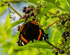 Butterfly (ost_jean) Tags: butterfly nikon d5200 tamron sp 90mm f28 di vc usd macro 11 f004n ostjean nature natuur