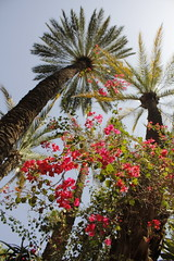 High (Alice Protto) Tags: art palmes palms pink fucsia high yvessaintlaurent sky cielo marrakech canon canoneos550d green nature jardin garden picoftheday photooftheday photographer travel morocco maroc