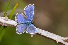 Silver-studded Blue (Gareth Christian) Tags: butterfly plebejusarguscaernensis silverstuddedblue llandudno wales unitedkingdom
