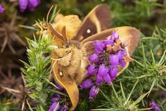 Oak Eggars (Gareth Christian) Tags: lasiocampaquercus moth oakeggar llandudno wales unitedkingdom
