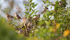House Sparrows (Robin M Morrison) Tags: house sparrow hedge