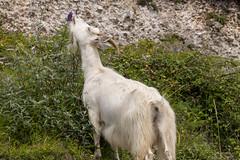 Great Orme Goat (Gareth Christian) Tags: llandudno wales unitedkingdom
