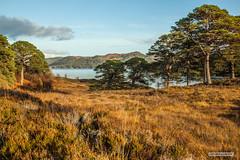 "Archetypal Scots Pines, by Loch Beinn a' Mheadhoin, in Glen Affric, in an Autumn sunset. (Scotland by NJC.) Tags: forest woodland plantation trees grove ""temperate rainforest"" غَابَة floresta 森林 ""bosque grande"" metsä forêt wald δάσοσ foresta lakes lochs reservoirs waters meres tarns ponds pool lagoon lago 湖 jezero sø meer järvi lac see λίμνη 호수 innsjø jezioro озеро hill تَلّ colina 小山 brdo kopec bakke forhøjning landskabet heuvel mäki colline hügel λόφοσ collina 丘 언덕 backe เขาเตี้ยๆ tepe coğrafya пагорб đồi lochbeinnamheadhoin glenaffric northwesthighlandsofscotland scotland"