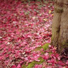 (Andrew :-)) Tags: bronicasqa zenzanons150mm35 kodakportra160 mediumformat 120 6x6 autumn winkwortharboretum