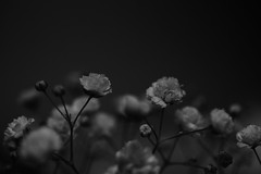 Little Flowers (flashfix) Tags: october222019 2019inphotos flashfix flashfixphotography ottawa ontario canada nikond7100 40mm stilllife monochrome blackandwhite simple flowers floral
