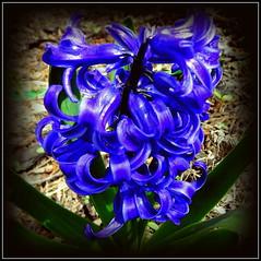 Natural Wonder (dimaruss34) Tags: newyork brooklyn dmitriyfomenko image flower hyacinth