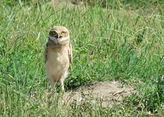 Burrowing Owl Juvenile (Kelly Preheim) Tags: burrowing owl south dakota