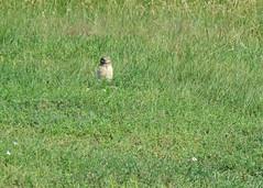 Burrowing Owl in the Grass (Kelly Preheim) Tags: burrowing owl south dakota