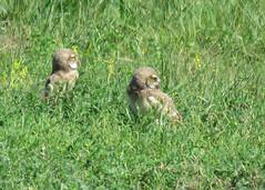 Burrowing Owl in the Grass 2 (Kelly Preheim) Tags: burrowing owl south dakota