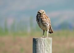 Burrowing Owl Good 2 (Kelly Preheim) Tags: burrowing owl south dakota