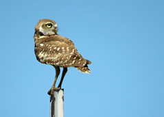 Burrowing Owl Best 3 (Kelly Preheim) Tags: burrowing owl south dakota