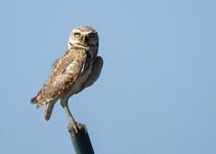 Burrowing Owl 3 (Kelly Preheim) Tags: burrowing owl south dakota
