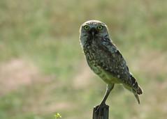 Burrowing Owl 2 (Kelly Preheim) Tags: burrowing owl south dakota