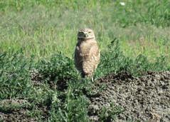 Burrowing Owl 5 (Kelly Preheim) Tags: burrowing owl south dakota