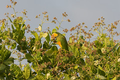 Alipiopsitta xanthops / Yellow-faced Parrot