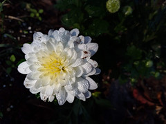 White Mum With Dew. (dccradio) Tags: lumberton nc northcarolina robesoncounty outdoor outside flower floral blossom blossoming bloom blooms blooming foliage plant mum monday morning mondaymorning goodmorning fall autumn dew waterdroplets samsung galaxy smj727v j7v cellphone cellphonepicture leaf leaves photo365 photooftheday project365