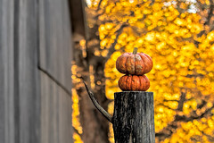 Pumpkin on pumpkin (Bob Gundersen) Tags: bobgundersen gundersen robertgundersen nikon nikoncamera guilford connecticut conn ct newengland connecticutscenes country usa green shoreline interesting image photo picture places park people scenes shots tree foliage fall old historical flickr outside leaf d850 nikond850 leaves outdoor exterior pumpkin dudleyfarm ©bobgundersen