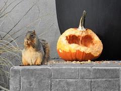 I can't believe I ate the whole thing... (Jane Lazarz Nature Photography) Tags: pumpkin squirrel oldnorthendco janelazarz walkingcolorado nikon nikonp900 coloradosprings fall autumn