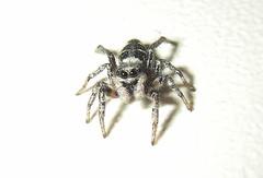 Arachtober 29. (Steviethewaspwhisperer) Tags: arachtober salticusscenicus salticus scenicus zebrajumpingspider zebra jumper spider spiders