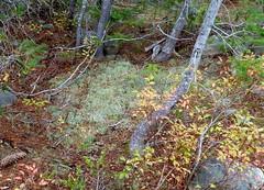 Odd lichen [Cladonia] (edenseekr) Tags: lichen cladonia forestfloor northcascadeswa