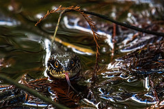 Banded Water Snake (BEHP Photography) Tags: outside serpentine green nikkor watersnake herptile herp naples florida nikon nikond850 banded water snake snakes tongue eyes eye contact swamp swamps nature wildlife photography photo photos animal planet cypress