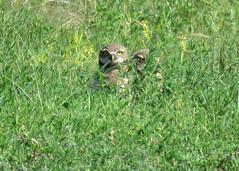 Burrowing Owls in the Grass (Kelly Preheim) Tags: burrowing owl south dakota