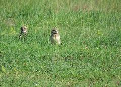 Burrowing Owls in the Grass 2 (Kelly Preheim) Tags: burrowing owl south dakota