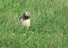 Burrowing Owl in the Grass Head Tilt (Kelly Preheim) Tags: burrowing owl south dakota