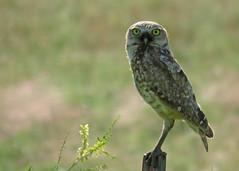 Burrowing Owl Close (Kelly Preheim) Tags: burrowing owl south dakota