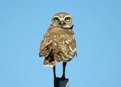 Burrowing Owl Best (Kelly Preheim) Tags: burrowing owl south dakota
