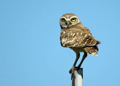 Burrowing Owl Best 2 (Kelly Preheim) Tags: burrowing owl south dakota