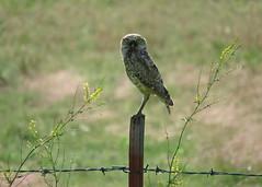 Burrowing Owl 1 (Kelly Preheim) Tags: burrowing owl south dakota