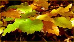 Herbstlicher Farbzauber / Autumnal color charm (ursula.valtiner) Tags: herbst autumn fall blätter leaves farben colours sierningtal bezirkneunkirchen niederösterreich loweraustriaaustria autriche österreich