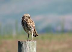 Burrowing Owl Good (Kelly Preheim) Tags: burrowing owl south dakota