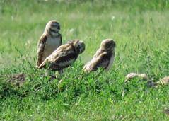 Burrowing Owl Family (Kelly Preheim) Tags: burrowing owl south dakota