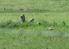 Burrowing Owl Family 3 (Kelly Preheim) Tags: burrowing owl south dakota