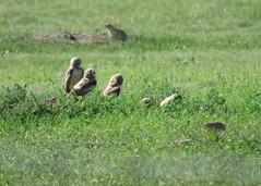 Burrowing Owl Family 2 (Kelly Preheim) Tags: burrowing owl south dakota