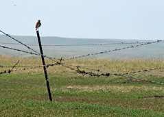 Burrowing Owl Distant (Kelly Preheim) Tags: burrowing owl south dakota