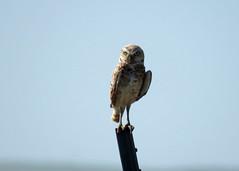 Burrowing Owl 4 (Kelly Preheim) Tags: burrowing owl south dakota