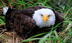 bald eagle near Chipera Prairie IA 653A0432 (naturalist@winneshiekwild.com) Tags: bald eagle injured chipera prairie winneshiek county iowa larry reis