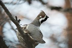 Hazel grouse portrait (alexander.alechits) Tags: hazelgrouse sakhalin nature wildlife okha